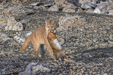 Mountain Lion (Puma concolor) sub-adult playing with European Hare (Lepus europaeus) prey, Torres del Paine National Park, Patagonia, Chile