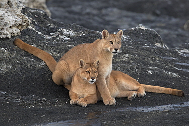 Mountain Lion (Puma concolor) mother and cub, Torres del Paine National Park, Patagonia, Chile