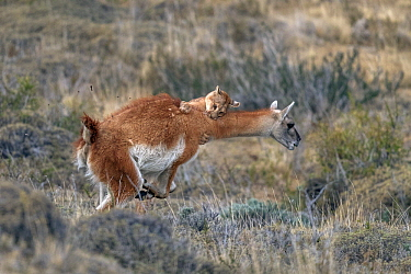 Mountain Lion (Puma concolor) hunting Guanaco (Lama guanicoe) male, Torres del Paine National Park, Patagonia, Chile, sequence 10 of 12