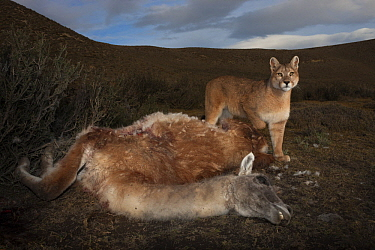 Mountain Lion (Puma concolor) sub-adult feeding on Guanaco (Lama guanicoe) prey, Torres del Paine National Park, Patagonia, Chile