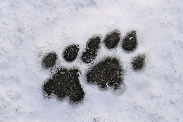 Mountain Lion (Puma concolor) tracks in snow, Torres del Paine National Park, Patagonia, Chile