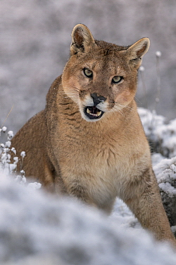 Mountain Lion (Puma concolor) female in snow, Torres del Paine National Park, Patagonia, Chile