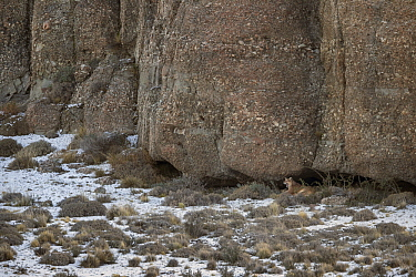 Mountain Lion (Puma concolor) in sheltered cave, Torres del Paine National Park, Patagonia, Chile