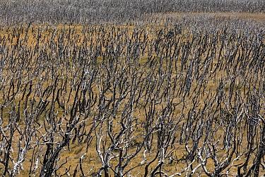 Lenga Beech (Nothofagus pumilio) burnt forest, Torres del Paine National Park, Patagonia, Chile