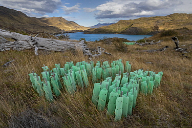 Native trees in protective plastic shields for reforestation of native forest after forest fire, Torres del Paine National Park, Patagonia, Chile