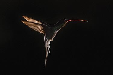 Green Hermit (Phaethornis guy) hummingbird male outline flying, Costa Rica