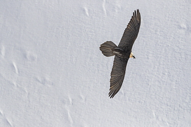 Bearded Vulture (Gypaetus barbatus) flying in winter, Valais, Switzerland