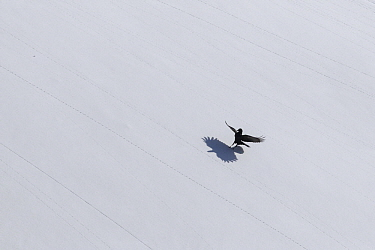 Bearded Vulture (Gypaetus barbatus) landing on snow in winter, Valais, Switzerland