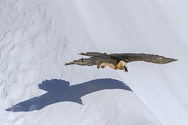 Bearded Vulture (Gypaetus barbatus) flying low over snow in winter, Valais, Switzerland