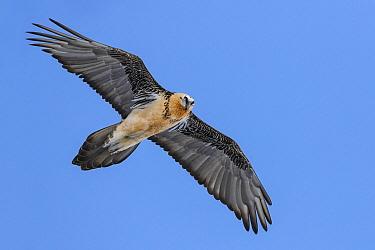 Bearded Vulture (Gypaetus barbatus) flying, Valais, Switzerland