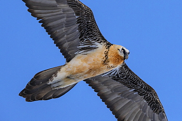 Bearded Vulture (Gypaetus barbatus) flying, Valais, Switzerland