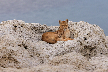 Mountain Lion (Puma concolor) mother and young cub, Torres del Paine National Park, Patagonia, Chile