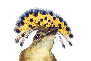 Royal Flycatcher (Onychorhynchus coronatus) in defensive posture, Santa Rosa National Park, Costa Rica