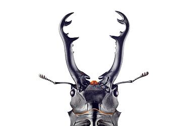Stag Beetle (Prosopocoilus giraffa), native to Asia