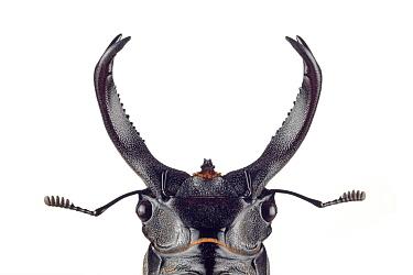 Stag Beetle (Hexarthrius buqueti), native to Java