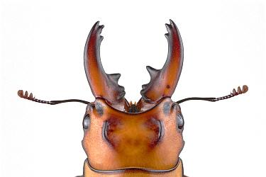 Stag Beetle (Prosopocoilus occipitalis), native to Asia