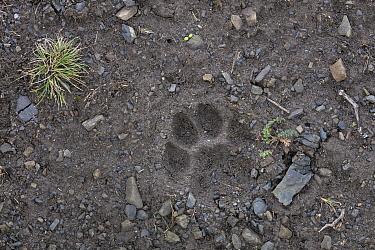 Mountain Lion (Puma concolor) track, Torres del Paine National Park, Patagonia, Chile