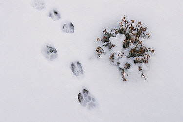 Mountain Lion (Puma concolor) stepping into Guanaco (Lama guanicoe) tracks in snow during stalk, Torres del Paine National Park, Patagonia, Chile