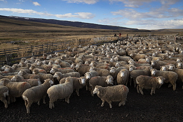 Domestic Sheep (Ovis aries) flock, Cerro Castillo, Patagonia, Chile
