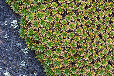 Cushion Plant (Azorella monantha), Torres del Paine National Park, Patagonia, Chile