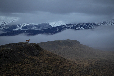 Guanaco (Lama guanicoe) in morning fog, Torres del Paine National Park, Patagonia, Chile
