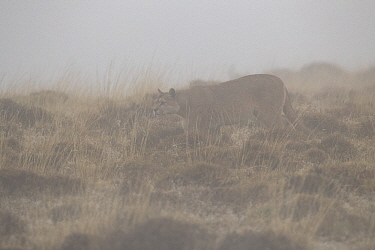 Mountain Lion (Puma concolor) female in morning fog, Torres del Paine National Park, Patagonia, Chile