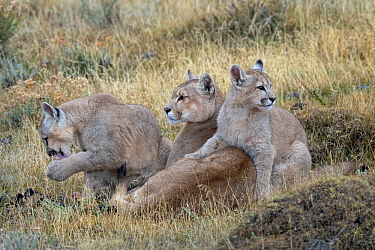 Mountain Lion (Puma concolor) mother with four month old cubs, Torres del Paine National Park, Patagonia, Chile