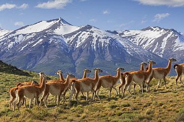 Guanaco (Lama guanicoe) herd, Torres del Paine National Park, Patagonia, Chile