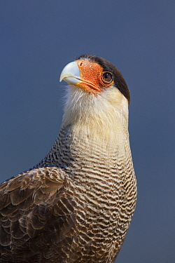 Southern Caracara (Caracara plancus), Torres del Paine National Park, Patagonia, Chile