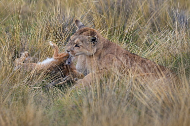 Mountain Lion (Puma concolor) female feeding on European Hare (Lepus europaeus) prey, Torres del Paine National Park, Patagonia, Chile