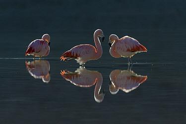 Chilean Flamingo (Phoenicopterus chilensis) trio, Torres del Paine National Park, Patagonia, Chile