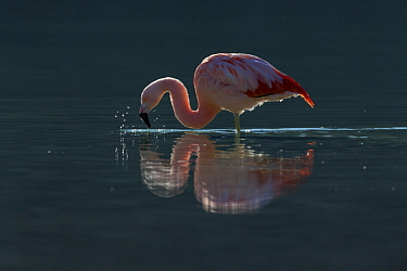 Chilean Flamingo (Phoenicopterus chilensis) foraging, Torres del Paine National Park, Patagonia, Chile