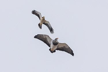 White-throated Caracara (Phalcoboenus albogularis) chasing Black-chested Buzzard-Eagle (Geranoaetus melanoleucus) while flying, Torres del Paine National Park, Patagonia, Chile