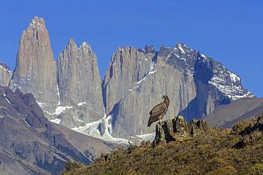 Andean Condor (Vultur gryphus) juvenile and mountains, Torres del Paine, Torres del Paine National Park, Patagonia, Chile