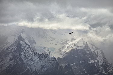 Andean Condor (Vultur gryphus) flying near mountains, Paine Massif, Torres del Paine, Torres del Paine National Park, Patagonia, Chile