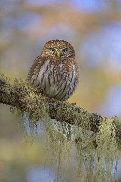 Austral Pygmy-Owl (Glaucidium nanum), Torres del Paine National Park, Patagonia, Chile