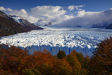 Beech (Fagus sp) trees in autumn and Perito Moreno Glacier, Los Glaciares National Park, Patagonia, Argentina
