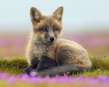 Red Fox (Vulpes vulpes) kit, Washington