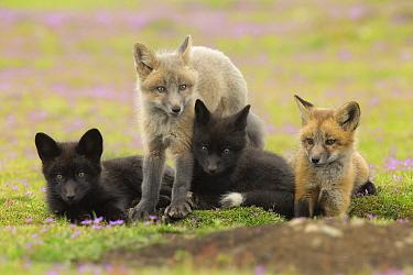 Red Fox (Vulpes vulpes) kits at den, Washington