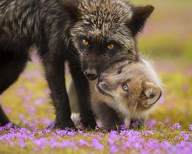 Red Fox (Vulpes vulpes) mother greeting kit, Washington