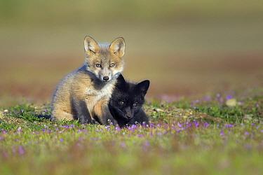 Red Fox (Vulpes vulpes) kits, Washington