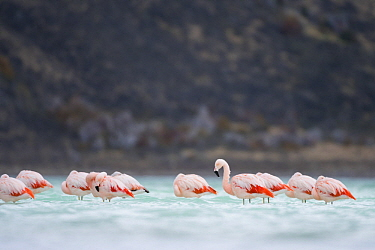 Chilean Flamingo (Phoenicopterus chilensis) flock in lake, Torres del Paine National Park, Patagonia, Chile