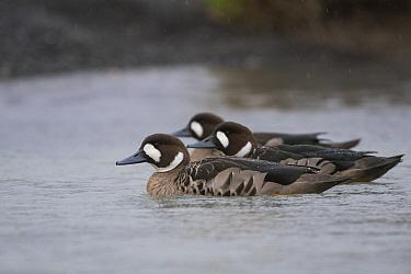 Spectacled Duck (Speculanas specularis) trio, Torres del Paine National Park, Patagonia, Chile
