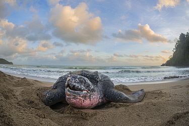 Leatherback Sea Turtle (Dermochelys coriacea) female coming on shore to lay her eggs, Grande Riviere, Trinidad, Caribbean