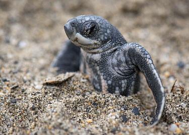 Leatherback Sea Turtle (Dermochelys coriacea) hatchling stuck in sand, Grande Riviere, Trinidad, Caribbean