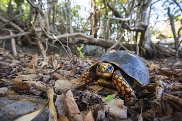 Red-footed Tortoise (Geochelone carbonaria), Saint Barts, Caribbean