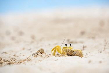 Ghost Crab (Ocypode quadrata) on beach, Barbados, Caribbean