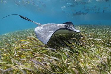 Southern Stingray (Dasyatis americana), Shark Ray Alley, Ambergris Caye, Belize