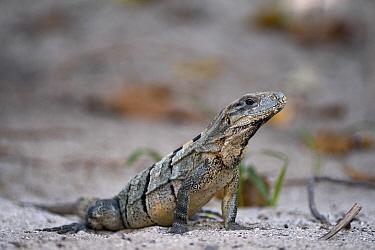 Black Spiny-tailed Iguana (Ctenosaura similis), Ambergris Caye, Belize