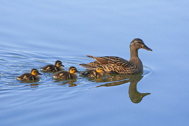 Mallard (Anas platyrhynchos) mother and one-week-old ducklings, Spring Lake Regional Park, Santa Rosa, California